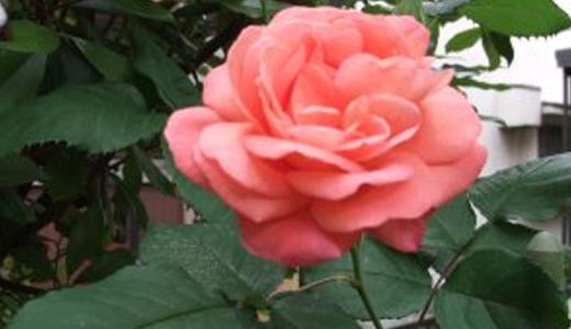 薔薇(キスミー)
