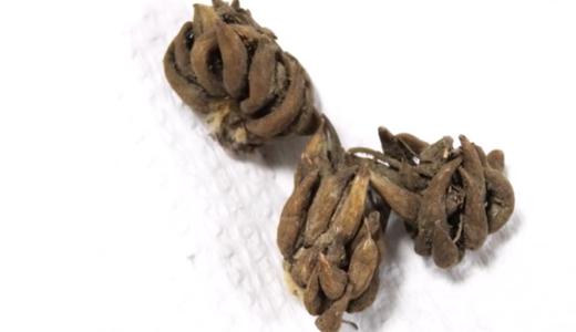 ラナンキュラスの球根の植え付け(100均で買った球根を植木鉢に)
