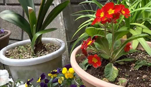 元気の無いジュリアン、ピンクの花を植え替えしてみた!