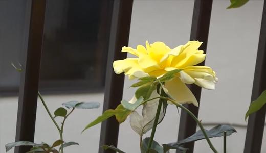 ゴールデンシャワー・黄色い薔薇と赤いホーカス・ポーカス
