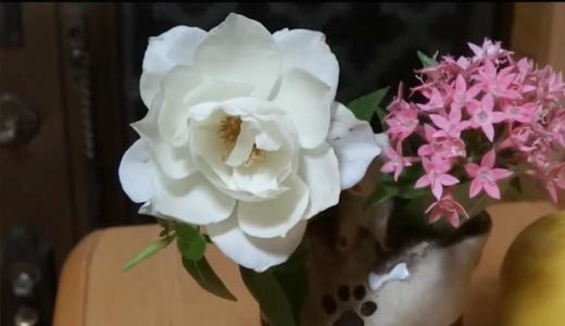 白薔薇アイスバーグ