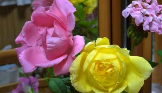 鏡のバラ・こんな薔薇の鑑賞も面白い!