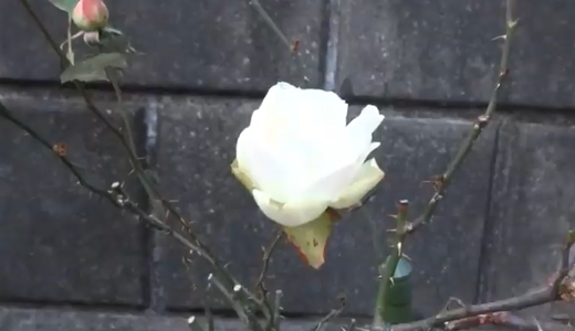 白くなってしまったマチルダ(ピンクのバラ)