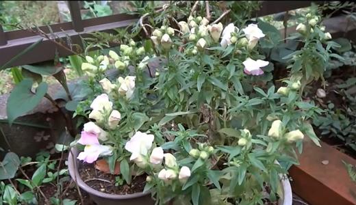 去年は咲かなかった、処分品のキンギョソウ、やっと咲きました。