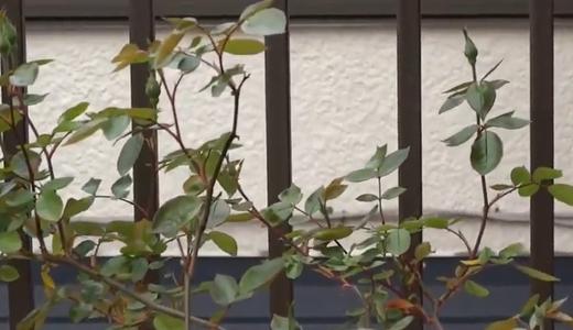 ゴールデンシャワーズ(黄色いバラ)のつぼみと開花