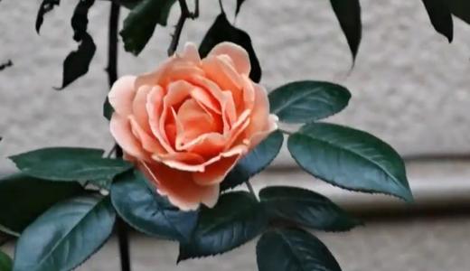 オレンジの薔薇2種(ロイヤルサンセットなど)