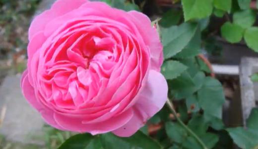 薔薇5種(ラフランス・アンネの思い出・ロイヤルサンセット・フリージア・キスミー)
