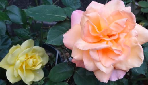 薔薇「アンネの思い出」がぱ~っと開きました。フリージアも