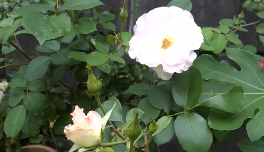 薔薇ブルームーンの開花&挿し木をしたバラ&ベビーリーフの種まき