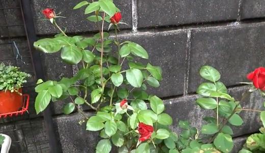 薔薇が咲き、鳥が歌う、母の日のどかな1日