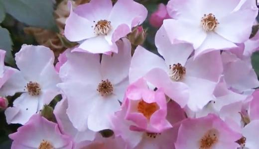 小さなピンクの薔薇「バレリーナ」は妖精のような可愛らしさ♪