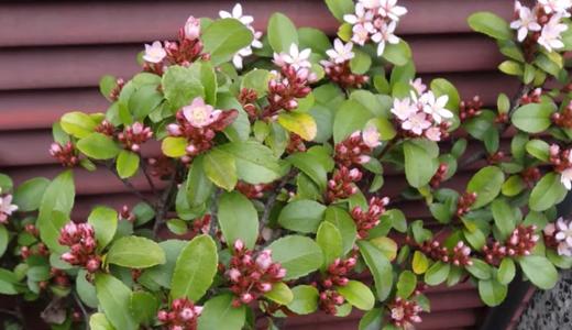 今頃、お花見?うちのヒメシャリンバイと横浜の森中&磯子工業高校の桜