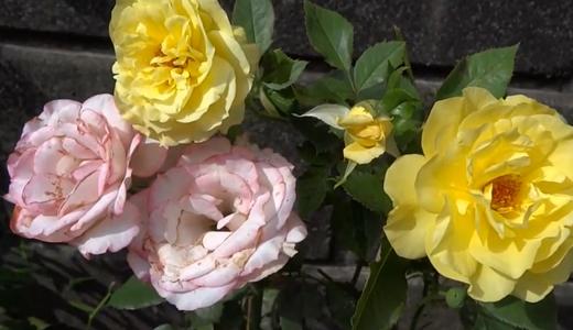 レモン色のフリージア(バラ)とキスミーの新しいシュート