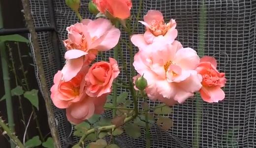 雨で傷んだキスミー(バラ)と急に咲いたジュリアン