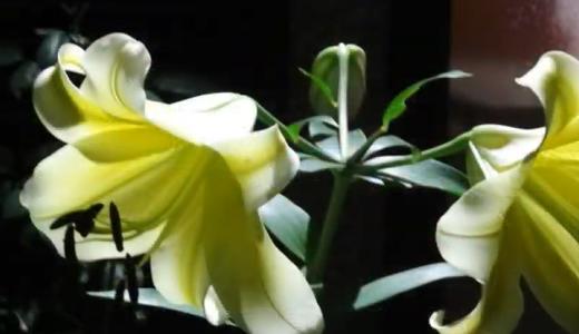 黄色い百合【コンカドール】の花が咲きました。月夜の夜から2日後です。