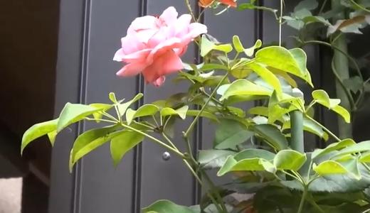 サーモンピンクのバラ・夏に咲いたキスミー&インパチェンスなど