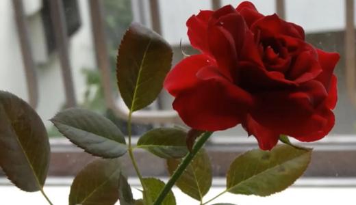 ニコロパガニーニ[赤い薔薇]と処分品のハイビスカスと庭に来た蝶