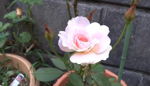 薄いピンクの薔薇マチルダ&ニチニチソウの種&ハイビスカスのつぼみ