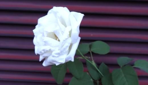 この暑いのに頑張って咲いたバラ!(白薔薇メイスポーラ)
