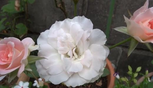薔薇:マチルダのつぼみが開花!&折れたキスミーをセロテープで修繕?