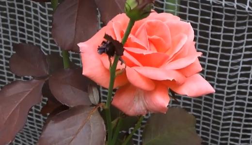 折れた薔薇の修繕(枝にセロテープ)で、花が咲きました