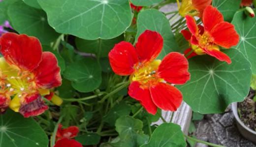 5月・6月に買った花の苗&「キンカン」の芽かも?(種をまいたので)