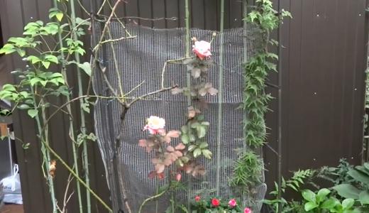 雨上がりのキスミー・八重インパチェンス・アプリコットコネクター(バラ)