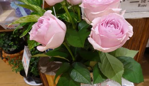 挿し木の薔薇の植え替え(=鉢上げ)切り花を植木鉢に!