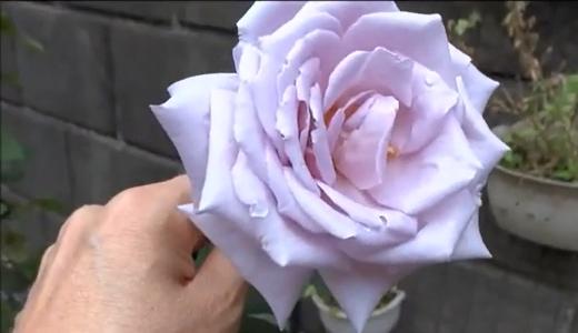 紫の薔薇・マダムビオレ、ブルームーン(RISの園芸日記)