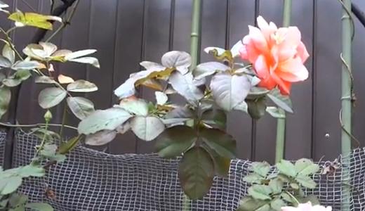 蜂が大好きなキスミーというサーモン色の薔薇