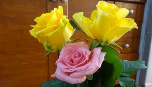 挿し木用のバラ・その1