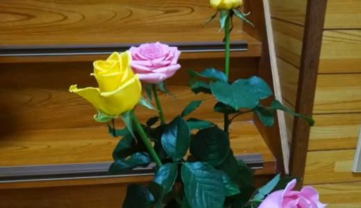 挿し木用のバラ・その3「雨の中、薔薇を挿し木してみました!」