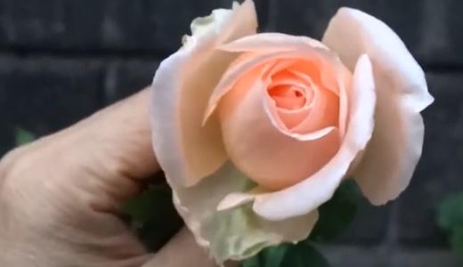台風の次の日の「嬉しいお花」ミニバラ・パンジーを80円で買いました。