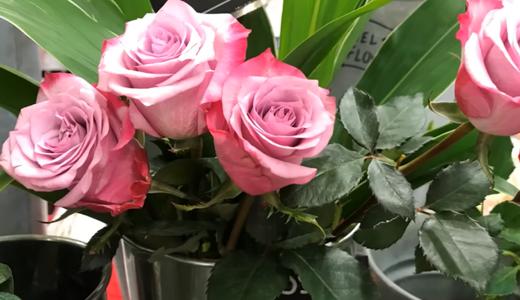 お花屋さんの薔薇をそのまま挿し木にしてみる!(ディープパープル&マダムレッド)
