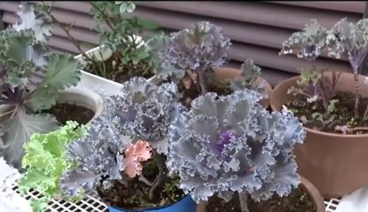 お友達に葉牡丹をプレゼント!種から育てた葉ボタンを白い鉢に植え替えて