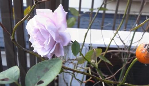 バラの実(種が入っている、ローズヒップ)うちの薔薇に付きました!