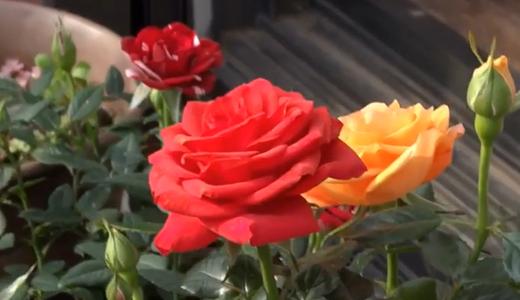 1ヶ月以上咲き続けたバラ「ホーカス・ポーカス」は魔法の薔薇?