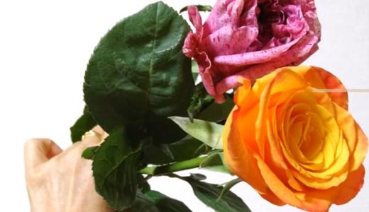 お花屋さんの薔薇をそのまま挿し木にしてみる!その4(クレイジーアイとコンフィデンシャルの切り花)