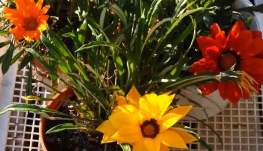 赤いガザニア、自分の色をオレンジと勘違い?(3色のガザニアが咲きました。)
