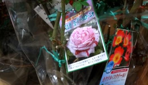 17鉢の薔薇の苗を買い、植え替えました。香りのよいバラ中心!