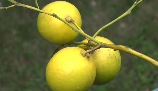 苗から育てたレモンの実、あと少しで収穫!つやつや黄色♪ベランダ園芸